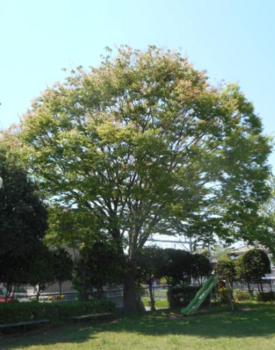 keyaki1.PNG